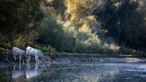Jeseň na Veľkolélskom ostrove 🍂 Sivý stepný dobytok pijúci z obnoveného Veľkolélskeho ramena. Foto: Nagy Benita